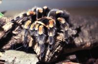 Brachypelma smithi, de Mexicaanse roodknievogelspin