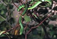 Ruwe groene grasslang (Opheodrys aestivus).