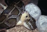 Python mollurus bivittatus