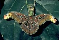 06 Atlasvlinder
