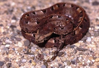 Bothrops ophagomesas