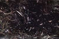 Net uit het ei komende jongetreksprinkhanen.