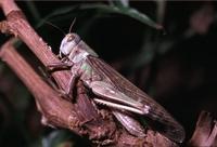 De solitaire vorm vanLocusta migratoria.
