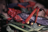 giftigerode sprinkhaan uitZuid-Afrika