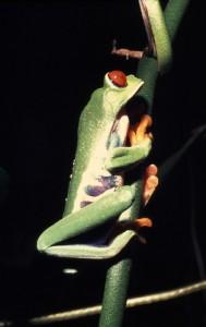 Agalychnis callidryas 002