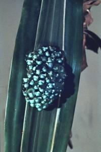 Agalychnis callidryas 007