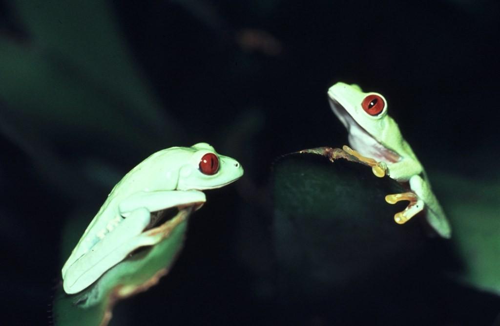 Agalychnis callidryas 018
