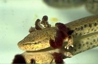 De mudpuppy (Necturus maculosus)