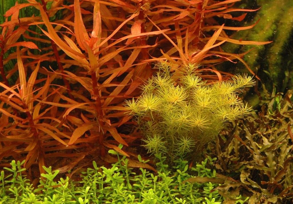 Ammannia gracilis.