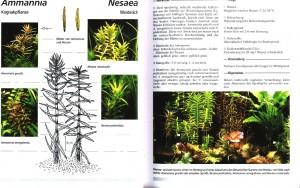 Ammannia gracilis 018