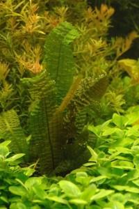 Aponogeton boivinianus in mijn aquarium.