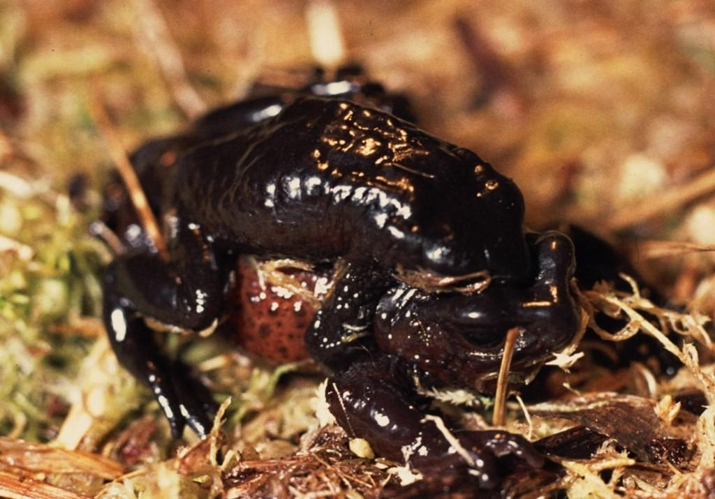 Atelopus ignescens 2