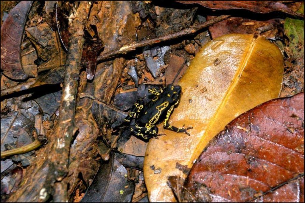 Atelopus spumarius