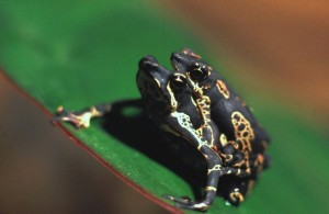 Atelopus spumarius 2