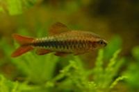 Barbus (Puntius) titeya 1