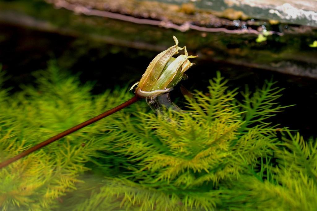Barclaya longifolia.
