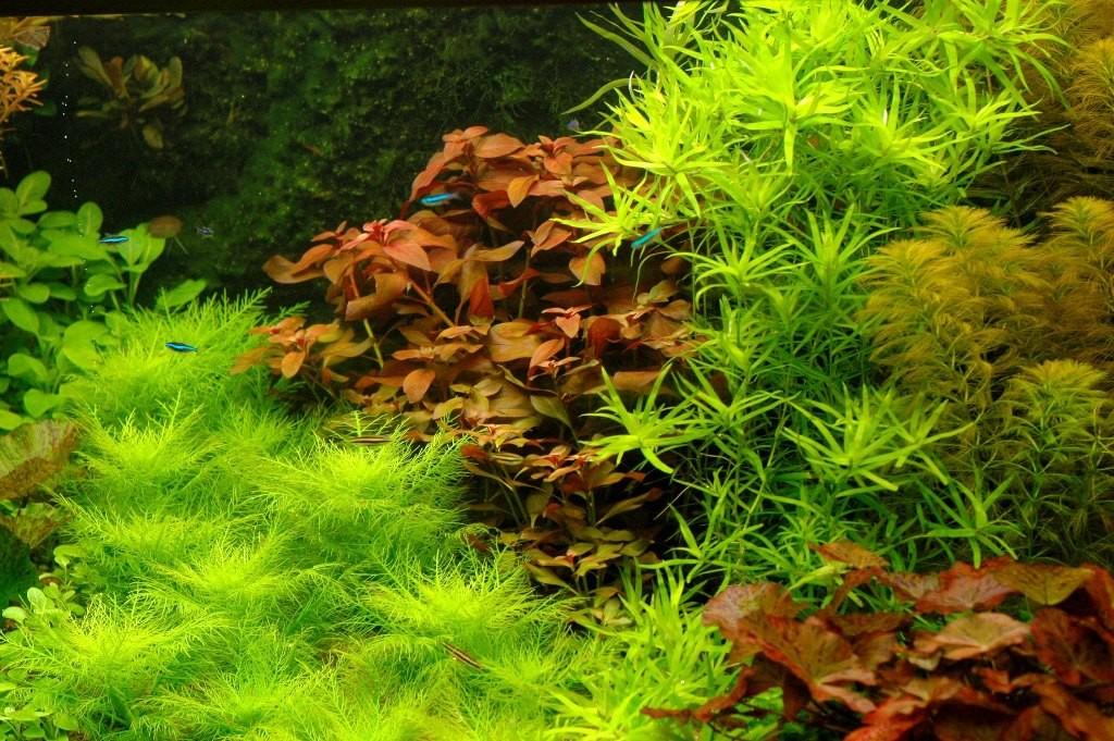 Naar achteren oplopende en smaller wordende plantengroepen suggereren diepte, zoals deze fijnbladige Hygrophila balsamica. Een decoratieve, niet algemene plant.