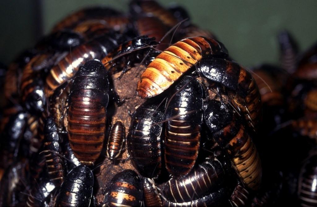 Blattodea Sissende kakkerlakken