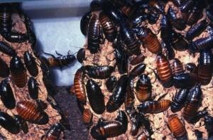 Blattodea Kweek met Sissende kakkerlak
