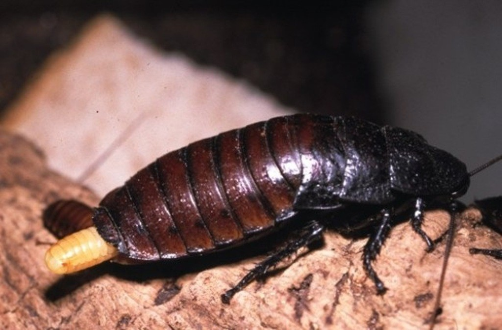 Blattodea Sissende kakkerlak met eipakket