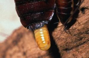 Blattodea