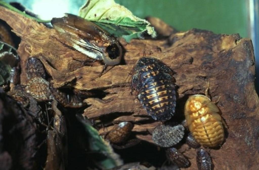 Blattodea Doodshoofdkakkerlak verschillende stadia