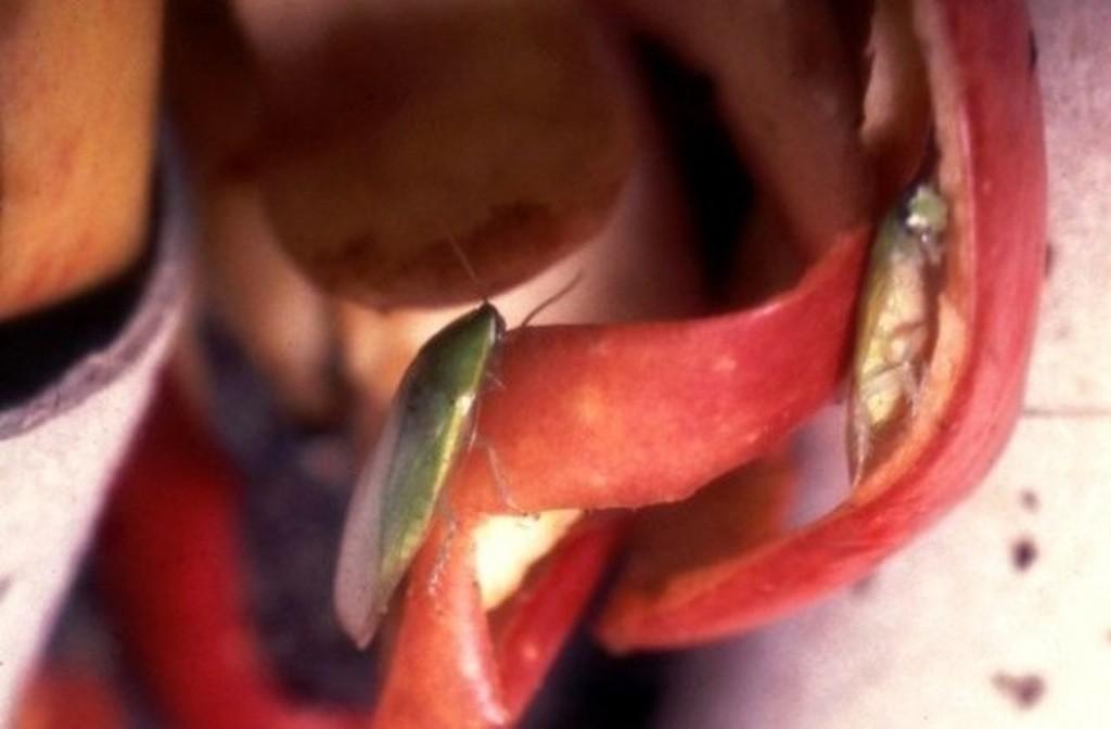 Blattodea Groene kakkerlak