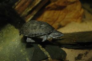 Modderschildpad
