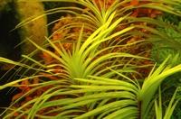 Eichhornia azurea.