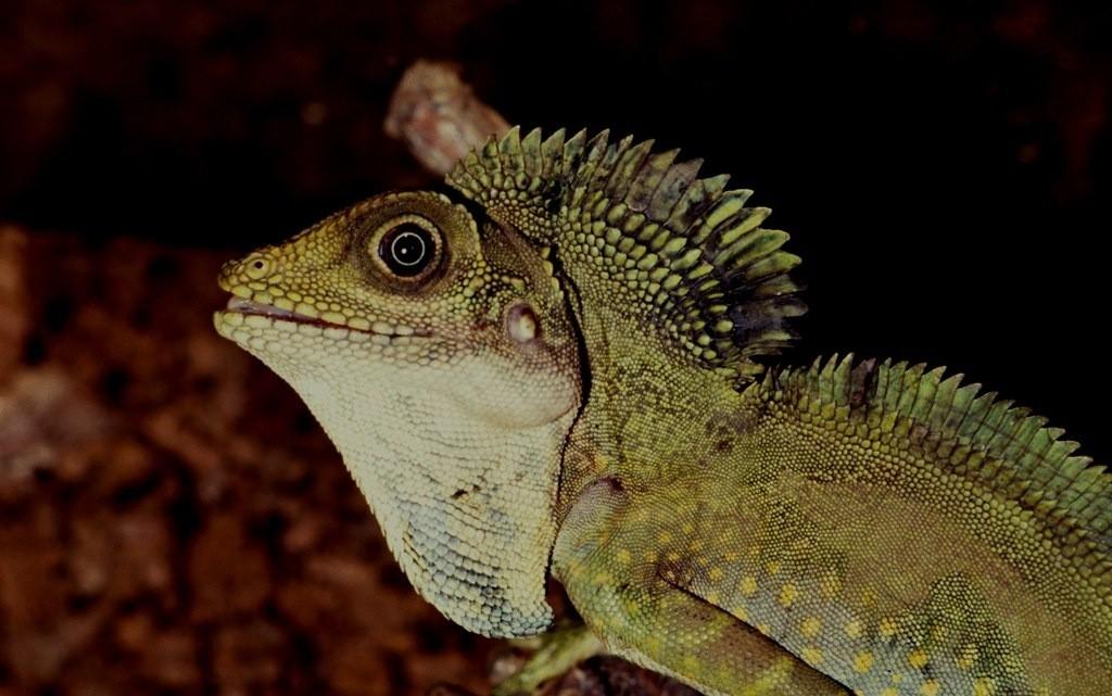 Gonocephalus grandis.