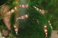 Neocaridina serrata (Crystal red garnalen).