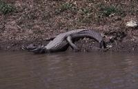 Kaaiman zoals ik die in 1980 in Suriname in een park aantrof.