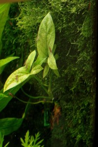 Lasia spinosa 24-9-2011