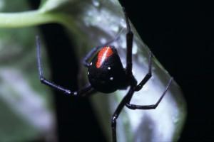 Latrodectus spec. Zwarte weduwe