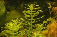 Limnophila aromaticoides groen.