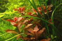 Ludwigia glandulosa.