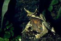 Megophrys monticola nasuta