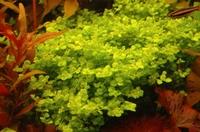 Micranthemum umbrosum.