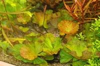Nymphaea lotus 'groen'.