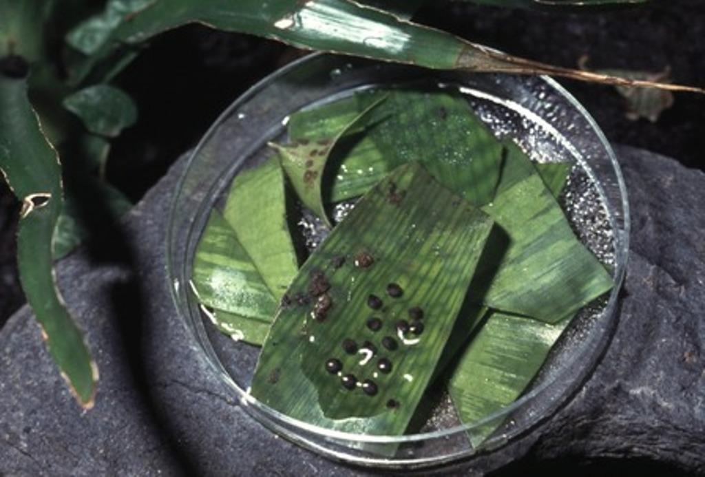 Phyllobates vittatus petri schaal
