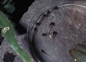 Phyllobates vittatus larven op petrischaap