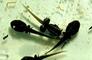Phyllobates vittatus achterpoten