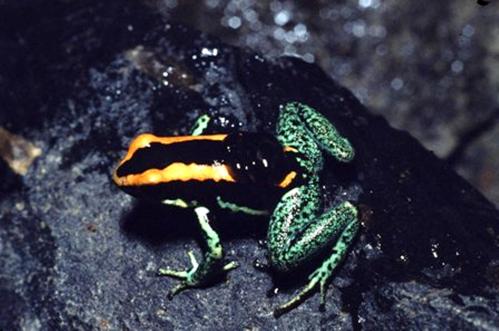 Phyllobates vittatus man larven op rug