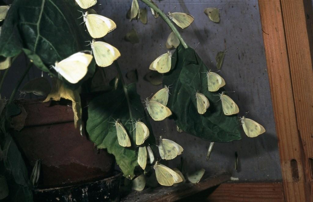 Pieris brassicae