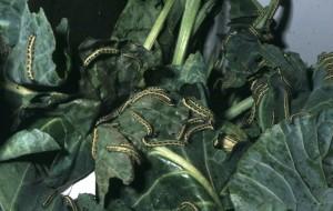 Pieris brassicae Groot koolwit: rupsen