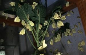 Pieris brassicae en dan weer vlinders