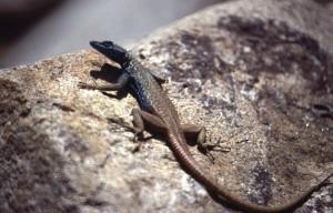 Platysaurus capensis, een mannetje