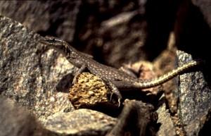 Platysaurus capensis.