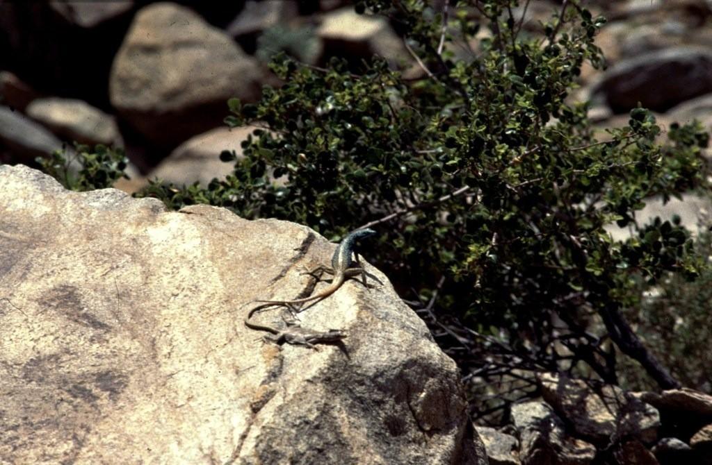 Platysaurus capensis een vast koppeltje