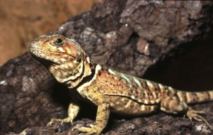 Pristidactylus torquatus.